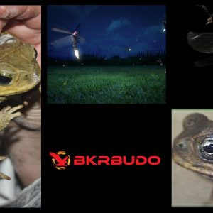 Bufo toad toxin and fireflies share many of the same chemical compounds